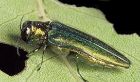 EAB insect
